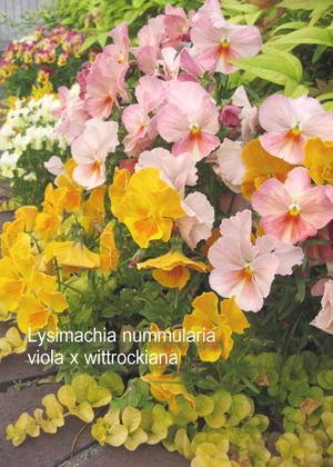 Yellow_viola_2